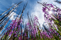 Fireweed_Mendenhall 1